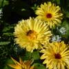 Biene auf Ringelblume