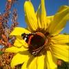 Schmetterling 'Admiral' auf Sonnenblume