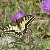 Schmetterling 'Schwalbenschwanz' auf Distel