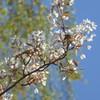 Die Felsenbirne (Amelanchier lamarckii) ist nicht gute Bienenweide, sie liefert zum Herbst essbare schmackhafte Beeren u