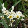 Turkestanische Tulpe (Tulipa turkestania)
