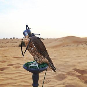 Falke in Dubais Wüste