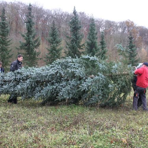 Mit gemeinsamer Kraft wurden die Weihnachtsbäume für die Kindereinrichtungen transportiert.