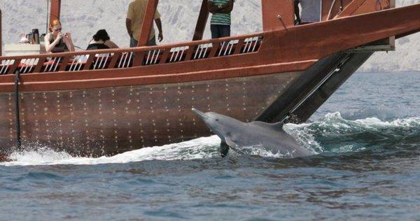 Delfin vor Dau in Musandam Dibba