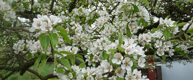 Blühender Birnbaum, Birnblüten